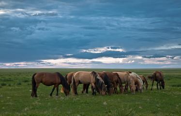 Mongolia, Dornod, Horses grazing in pasture
