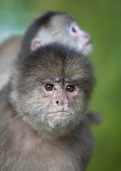 Ecuador, Misahualli, Monkey mother with her child