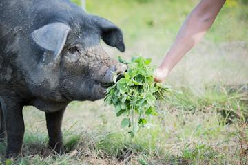 Pig eating clover
