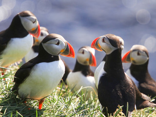 Iceland, Group of Puffins