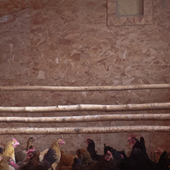 USA, Wyoming, Chickens in hen house