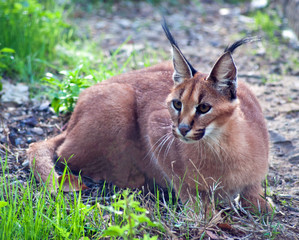 Limpopo, South Africa, Caracal