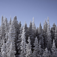 USA, Wyoming, Albany County, Frozen snow-covered trees