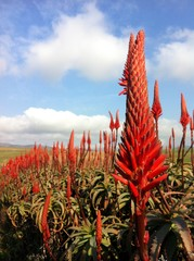 View of Aloe flowers