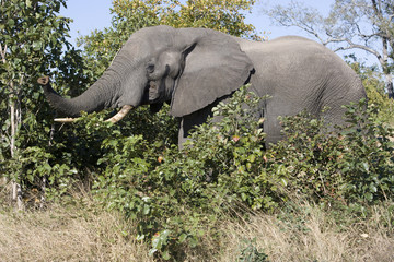 South Africa, Elephant in musk