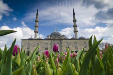 Turkey, Istanbul, Tulips in front of Yeni cami mosque