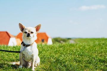 Dog on leash sitting in field