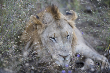 Lion sleeping in long grass
