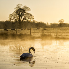Lake and swan on foreground and sheeps on meadow in background