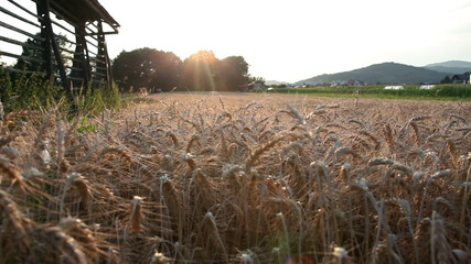 shoot of wheat field sparkling in the evening sun
