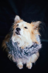 United Kingdom, England, West Midlands, Warwickshire, Stratfort-upon-Avon, Close-up shot of cross-breed dog with faux fur scarf