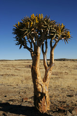 Namibia, Lone quiver tree in plain