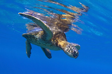 USA, Hawaii, View of Sea Turtle