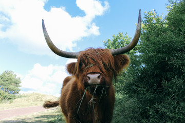 Netherlands, Scottish Highland Cow