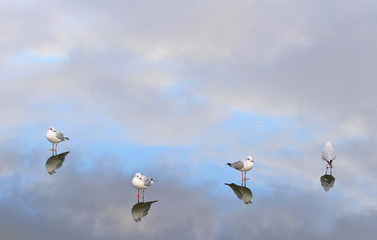 Iceland, Seagulls standing on ice