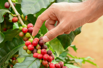 Hand picking red coffee beens on coffee tree