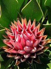 Close up of Protea Fynbos flower