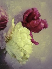 Close up of peonie flowers