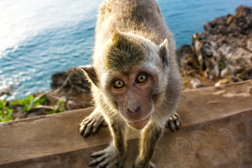 Indonesia, Bali, Monkey sitting on fence against Bali sea