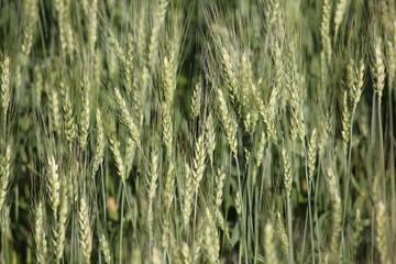 India, Maharashtra, Nashik, Close up of wheat
