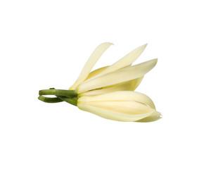 White Champak flower