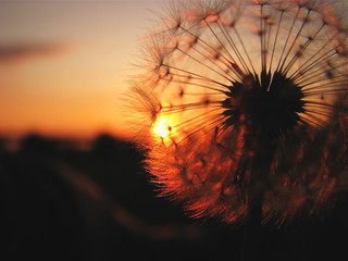 USA, Vermont, Close up of dandelion at sunset