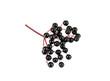 Wild Elderberry bunch - 77447748