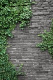 Fototapety Old brick wall covered in ivy