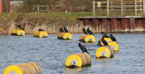Cormorants Perched on a Buoy