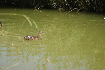 pato nadando en rio