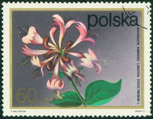 stamp printed by Poland, shows flower, Pomeranian honeysuckle