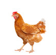 full body of brown chicken hen standing isolated white backgroun - 77461112