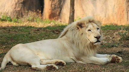 Male white lion resting.