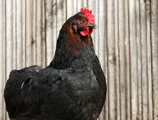 black chicken on a poultry yard