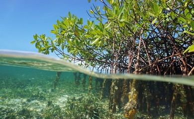 Mangrove trees roots above and below the water