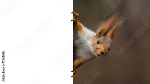 Fotobehang Eekhoorn red squirrel holding a poster