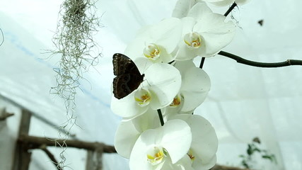 Blue butterfly on a beautiful orchid's white blossom