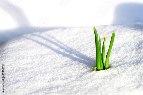 Fotobehang Krokus Frühling auf dem Weg durch den Schnee