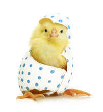 "Постер, картина, фотообои ""Cute little chicken coming out of the Easter egg"""