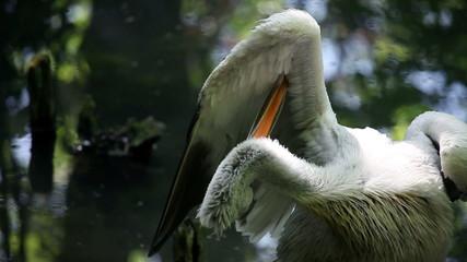 Pelican celaning its wings