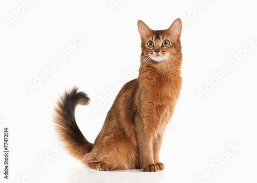 Cat. Somali cat ruddy color on white bakcground - 77473514