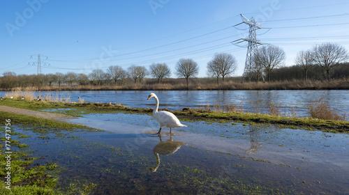 Foto op Plexiglas Zwaan Swan on the shore of a sunny canal in winter