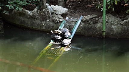 Shot of some turtles in the pond seating on peace of iron