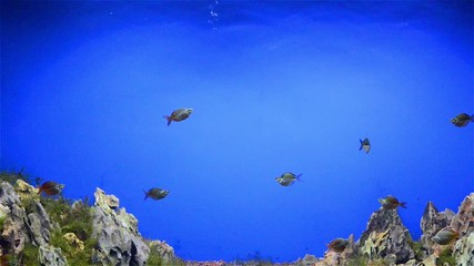 fishes swimming in aquarium with fasle hill in bottom