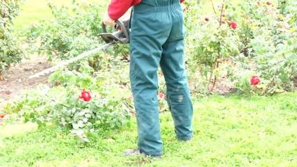 Cutting down roses. Autumn works in garden