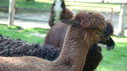 Shot of alpacas standing and watching
