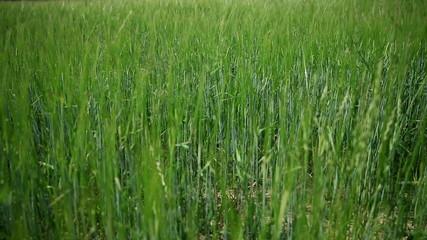 Tall green grass in beautiful gradient