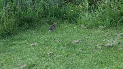 Rabbit carefuly observing his environment at the edge of the mown meadow