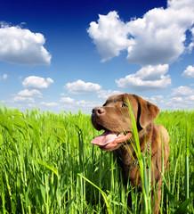 young labrador retriever in nature