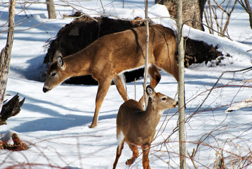 Mama Deer with a Foe in Med-Winter